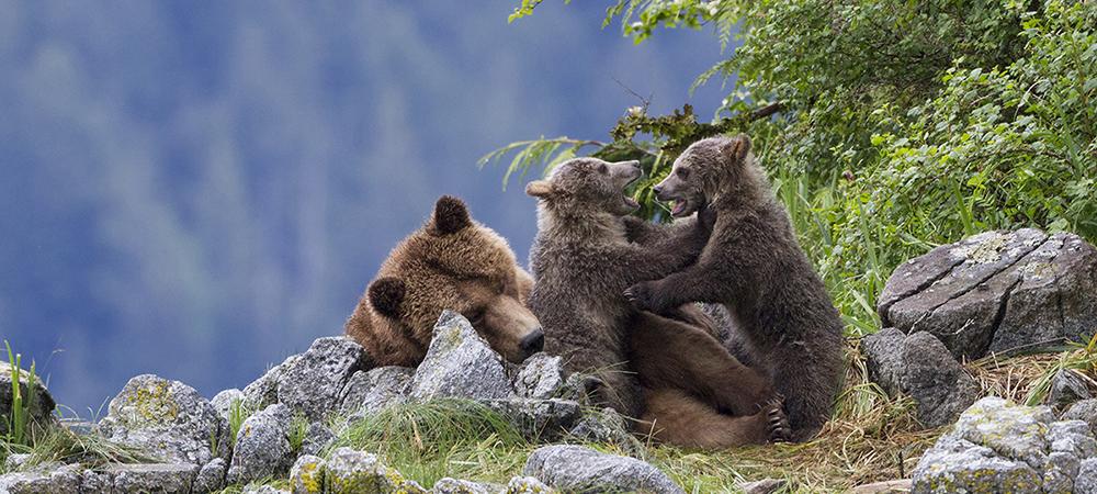 Grizzly_Cinema