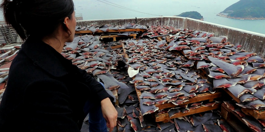 Le massacre de la population de requin par la Chine...